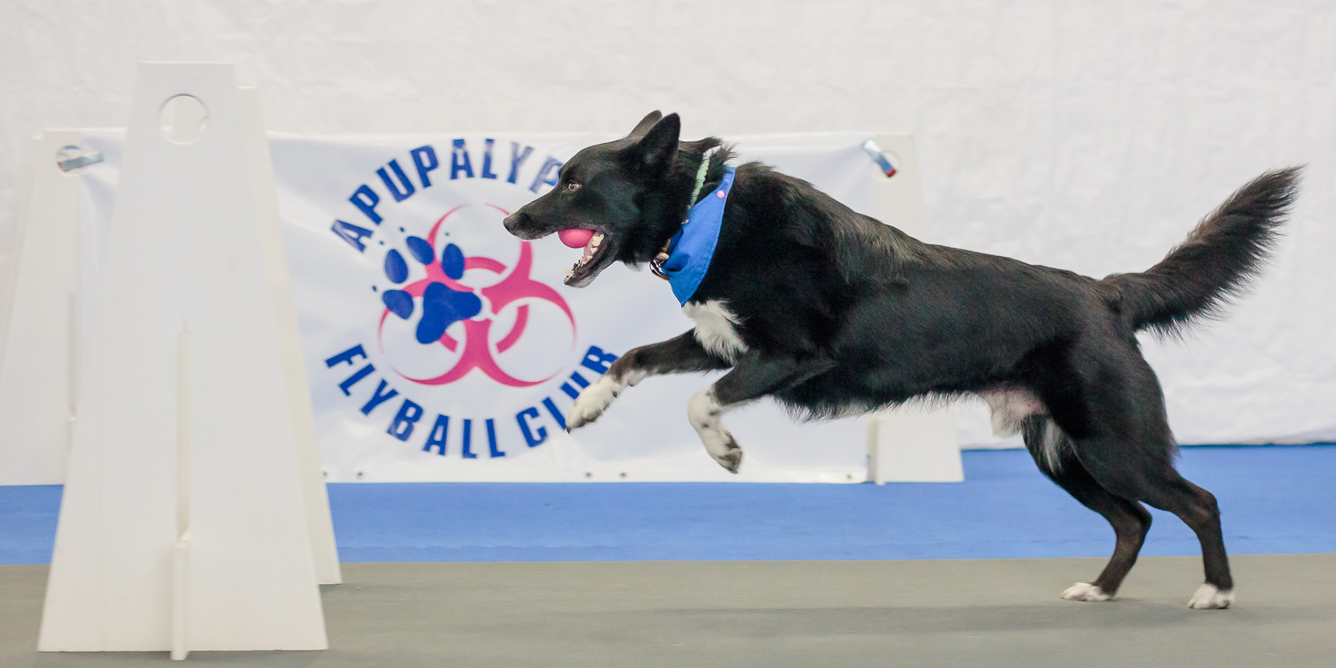 Angus doing flyball